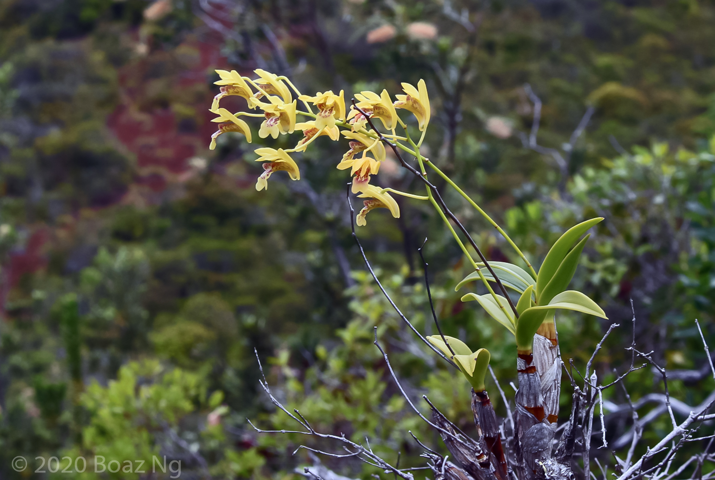 Dendrobium closterium