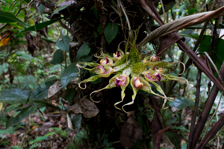 Bulbophyllum virescens, Jambi, Sumatra