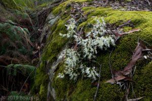Dockrillia linguiformis northern Sydney