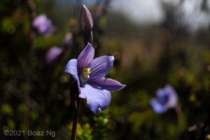 Thelymitra cyanea