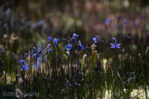 Thelymitra cyanea in full bloom