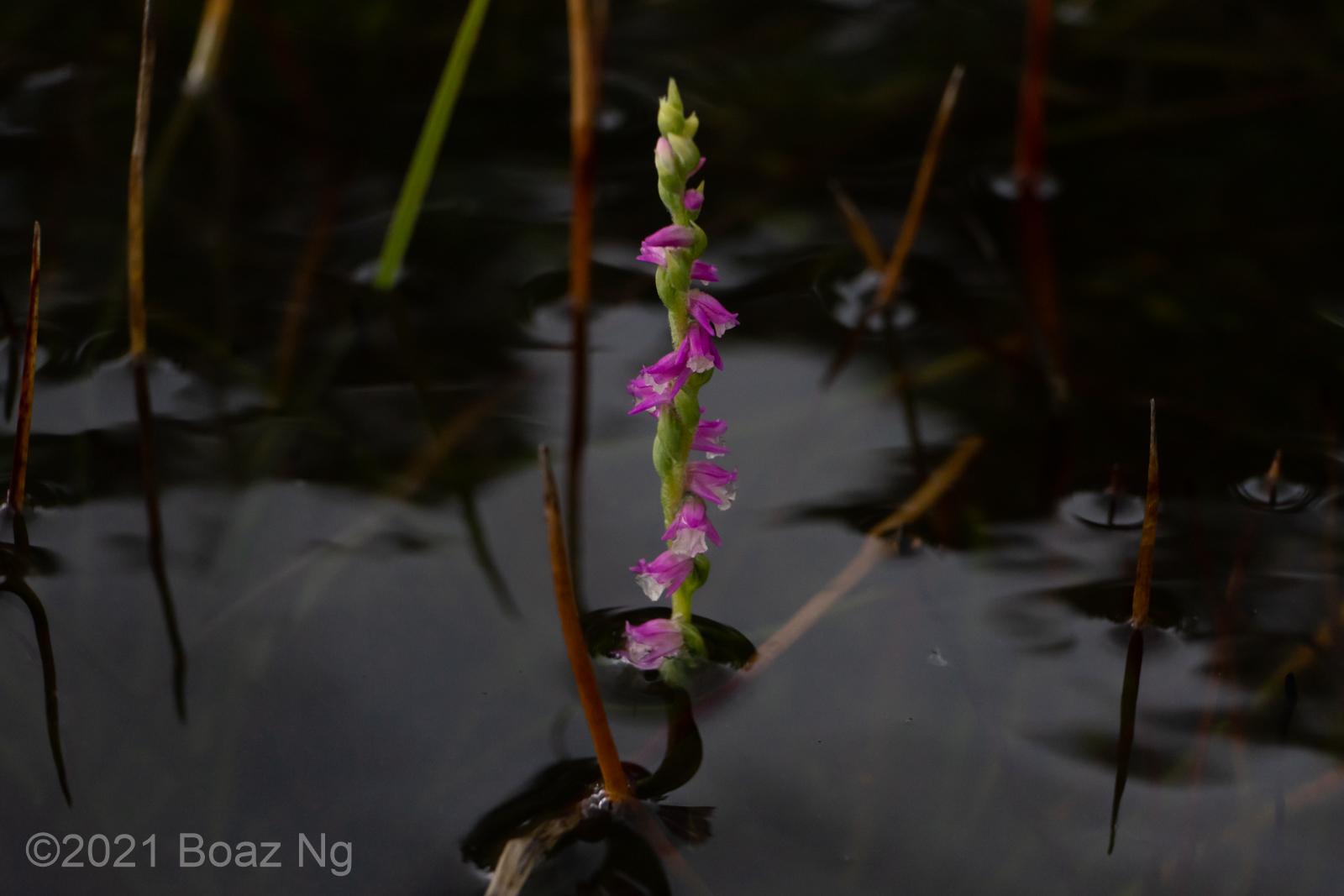 Spiranthes australis after rain