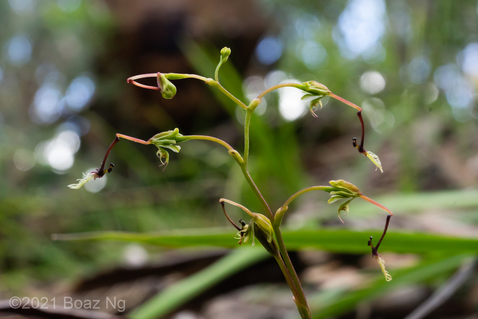 Thynninorchis huntiana on Mt Buffalo